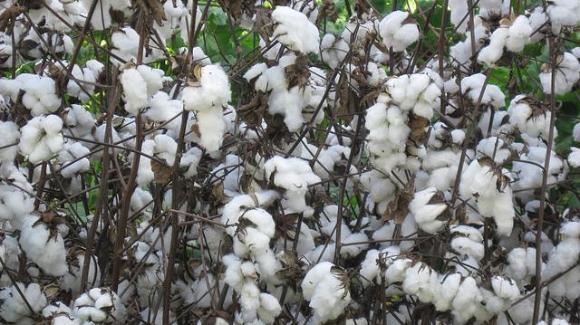 cotton-plant